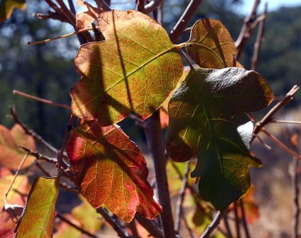 blue oak volvon loop12