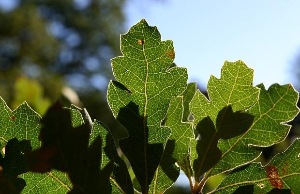 blue oak volvon loop13