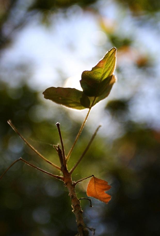 blue oak volvon loop15