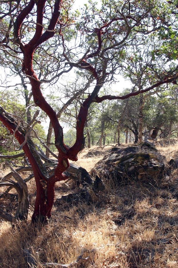 blue oak volvon loop17