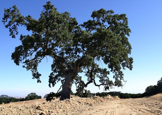 blue oak volvon loop18