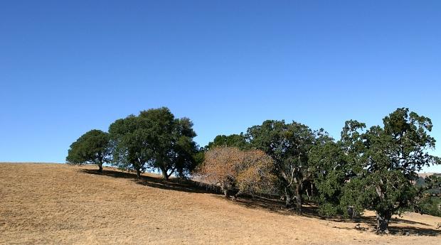 blue oak volvon loop21