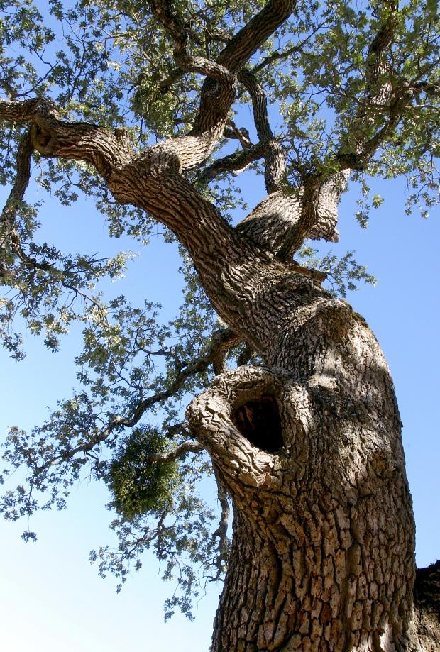 blue oak volvon loop23