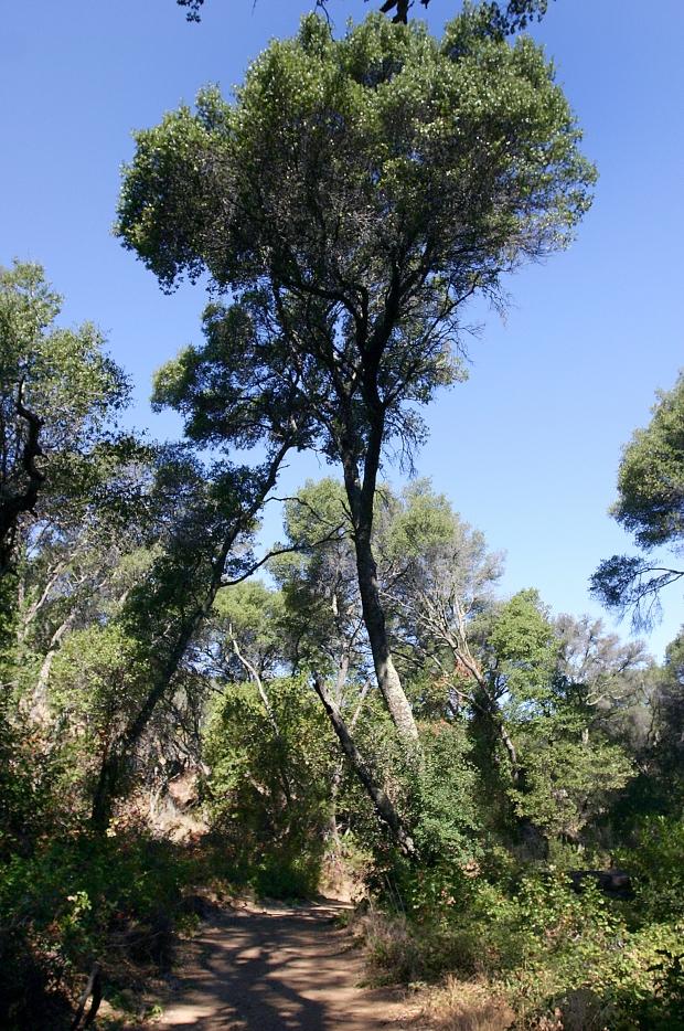 blue oak volvon loop25