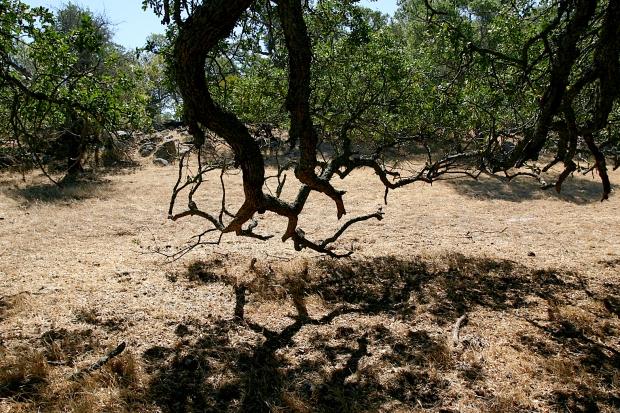 blue oak volvon loop33