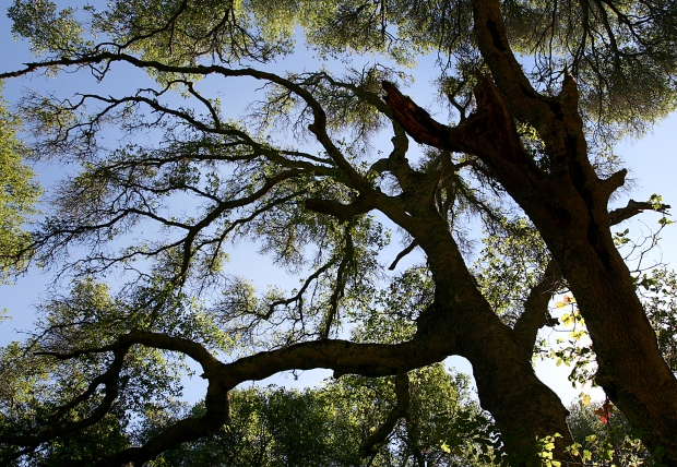 blue oak volvon loop8