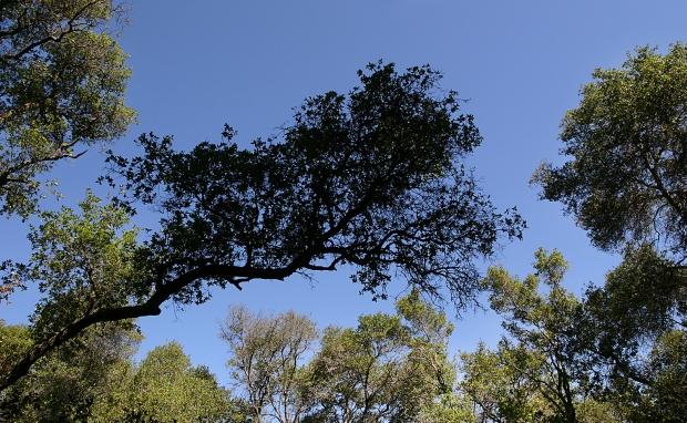 blue oak volvon loop9