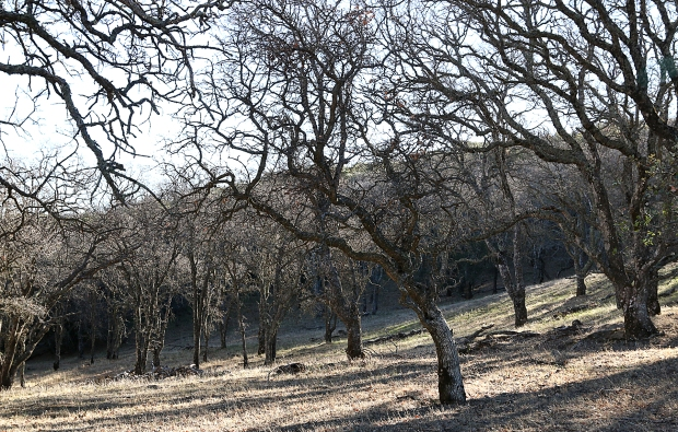 volvon:blue oak loop25